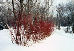 Tatarian Dogwood (Cornus alba) at Meadows Farms Nurseries