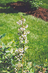 Elliott Blueberry (Vaccinium corymbosum 'Elliott') at Meadows Farms Nurseries