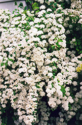 Vanhoutte Spirea (Spiraea x vanhouttei) at Meadows Farms Nurseries