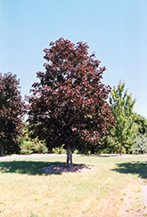 Royal Red Norway Maple (Acer platanoides 'Royal Red') at Meadows Farms Nurseries