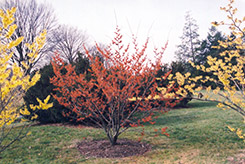 Diane Witchhazel (Hamamelis x intermedia 'Diane') at Meadows Farms Nurseries