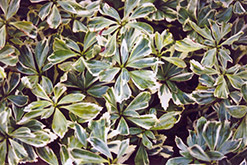 Silver Edge Japanese Spurge (Pachysandra terminalis 'Variegata') at Meadows Farms Nurseries