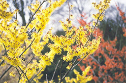 Arnold Promise Witchhazel (Hamamelis x intermedia 'Arnold Promise') at Meadows Farms Nurseries