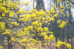 Japanese Cornelian Dogwood (Cornus officinalis) at Meadows Farms Nurseries