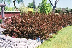 Wine and Roses® Weigela (Weigela florida 'Alexandra') at Meadows Farms Nurseries