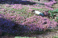 Mother-of-Thyme (Thymus praecox) at Meadows Farms Nurseries
