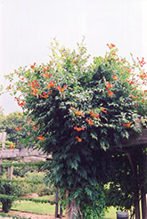 Trumpetvine (Campsis radicans) at Meadows Farms Nurseries