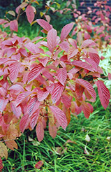 Burkwood Viburnum (Viburnum x burkwoodii) at Meadows Farms Nurseries