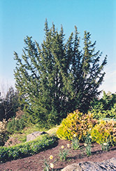 English Yew (Taxus baccata) at Meadows Farms Nurseries
