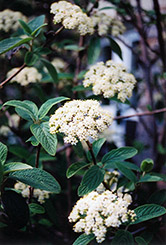 Alleghany Viburnum (Viburnum x rhytidophylloides 'Alleghany') at Meadows Farms Nurseries