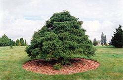 Threadleaf Falsecypress (Chamaecyparis pisifera 'Filifera') at Meadows Farms Nurseries