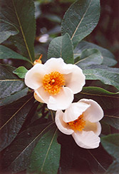 Franklinia (Franklinia alatamaha) at Meadows Farms Nurseries
