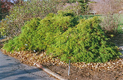 Dwarf Threadleaf Falsecypress (Chamaecyparis pisifera 'Filifera Nana') at Meadows Farms Nurseries
