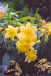 Rejnveld's Early Sensation Daffodil (Narcissus 'Rejnveld's Early Sensation') at Meadows Farms Nurseries
