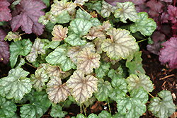 Mint Frost Coral Bells (Heuchera 'Mint Frost') at Meadows Farms Nurseries