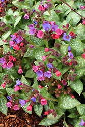 Dark Vader Lungwort (Pulmonaria 'Dark Vader') at Meadows Farms Nurseries