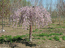 Pink Snow Showers Weeping Cherry (Prunus 'Pisnshzam') at Meadows Farms Nurseries