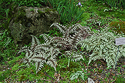 Japanese Painted Fern (Athyrium nipponicum 'Pictum') at Meadows Farms Nurseries