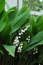 Lily-Of-The-Valley (Convallaria majalis) at Meadows Farms Nurseries