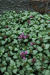 Red Nancy Spotted Dead Nettle (Lamium maculatum 'Red Nancy') at Meadows Farms Nurseries