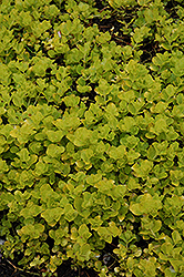 Golden Creeping Jenny (Lysimachia nummularia 'Aurea') at Meadows Farms Nurseries