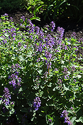 Dropmore Blue Catmint (Nepeta x faassenii 'Dropmore Blue') at Meadows Farms Nurseries