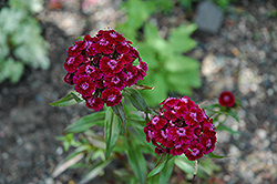 Sweet William (Dianthus barbatus) at Meadows Farms Nurseries