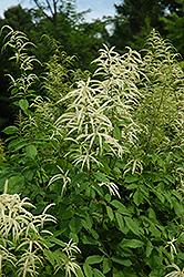 Goatsbeard (Aruncus dioicus) at Meadows Farms Nurseries