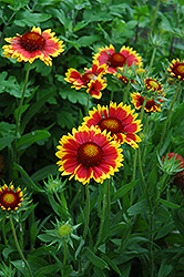 Goblin Blanket Flower (Gaillardia x grandiflora 'Goblin') at Meadows Farms Nurseries