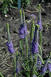Blue Candles Speedwell (Veronica spicata 'Blue Candles') at Meadows Farms Nurseries