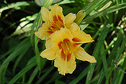 Black Eyed Stella Daylily (Hemerocallis 'Black Eyed Stella') at Meadows Farms Nurseries