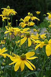 Autumn Sun Coneflower (Rudbeckia 'Autumn Sun') at Meadows Farms Nurseries