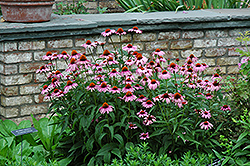 Magnus Coneflower (Echinacea purpurea 'Magnus') at Meadows Farms Nurseries