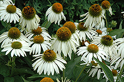 White Swan Coneflower (Echinacea purpurea 'White Swan') at Meadows Farms Nurseries