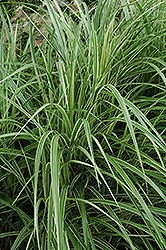 Variegated Silver Grass (Miscanthus sinensis 'Variegatus') at Meadows Farms Nurseries
