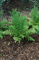 Lady Fern (Athyrium filix-femina) at Meadows Farms Nurseries