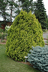 Sunkist Arborvitae (Thuja occidentalis 'Sunkist') at Meadows Farms Nurseries