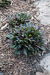 Chocolate Chip Bugleweed (Ajuga reptans 'Chocolate Chip') at Meadows Farms Nurseries