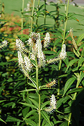 Culver's Root (Veronicastrum virginicum) at Meadows Farms Nurseries