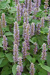 Blue Fortune Anise Hyssop (Agastache 'Blue Fortune') at Meadows Farms Nurseries