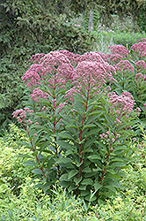 Joe Pye Weed (Eupatorium maculatum) at Meadows Farms Nurseries