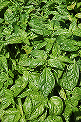 Sweet Basil (Ocimum basilicum) at Meadows Farms Nurseries