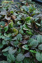 Bronze Beauty Bugleweed (Ajuga reptans 'Bronze Beauty') at Meadows Farms Nurseries