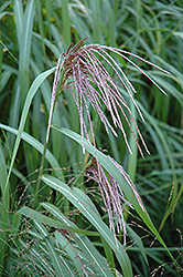 Maiden Grass (Miscanthus sinensis) at Meadows Farms Nurseries