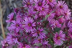 Woods Pink Aster (Aster 'Woods Pink') at Meadows Farms Nurseries