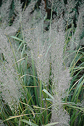 Korean Reed Grass (Calamagrostis brachytricha) at Meadows Farms Nurseries