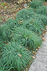 Blue Sedge (Carex glauca) at Meadows Farms Nurseries