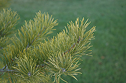 Scotch Pine (Pinus sylvestris) at Meadows Farms Nurseries