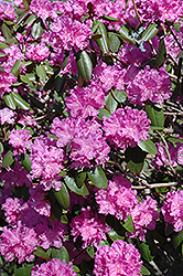 P.J.M. Rhododendron (Rhododendron 'P.J.M.') at Meadows Farms Nurseries