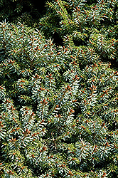 Dwarf Serbian Spruce (Picea omorika 'Nana') at Meadows Farms Nurseries